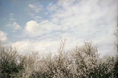 (Benedetta Falugi) Tags: film filmisnotdead filmphotography fujisuperia ricoh biancospino flowers shootingfilm sky blue white spring beliveinfilm benedetafalugi clouds countryside howthorne mayflower analog analogue analogphotography air istillshootfilm ishootfilm 35mm