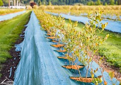 Young blueberry plants (Washington State Department of Agriculture) Tags: blossoms blueberries field fruit spring