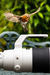 """If CANON Done Bird Tables!"" (Steve Cooke-SRAviation) Tags: robin birds 5d4 lightningll canon blackbird 500mm birdtable 7d2 100400mkll wildlife explore"