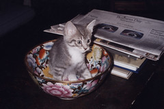Ika in a Chinese Bowl (meg williams2009) Tags: cats pets animals cutecats funnycats beautifulcats feline kittens kitten filmpicture