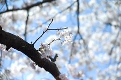 藍天裡的櫻花朵朵開 (Jill-Wang) Tags: sakura sakuraflowers noctilux flower leica m9 sky blue sunnyday busan bokeh