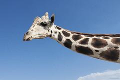 Jaki_ La Jirafa (Honduras (504)) Tags: retratoanimal imágenescatrachas americacentral fotomaxhonduras honduras naturaleza centroamerica canoneos70d jirafa animalplanet animal wow brilliant