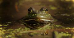 fantasy frog (don.white55 never caught up) Tags: americanbullfroglithobatescatesbeianus wildwoodpark towpathtrail harrisburgpennsylvania donwhite donpwhitephotography thatswildnaturephotography canone0s7od canoneos70dtamronsp150600mmf563divcusda011 tamronsp150600mmf563divcusda011 animal amphibian frog frogeyes habitat herpetology herp duckweed bog marsh bigeyes