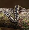 European adder (Jaedde & Sis) Tags: hugorm slange snake viperaberus european adder viper friendlychallenges challengeyouwinner storybookwinner pregamewinner gamewinner 15challengeswinner cy2 bbq