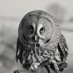 Going, Going... (Ali Ly) Tags: bird bobbrindsurch day food goldenhour greatgreyowl icarusfalconry light mouse northamptonshire outdoor owl pico prey spring strixnebulosa