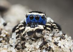9263 peacock spider Maratus personatus (Jurgen Otto) Tags: male personatus