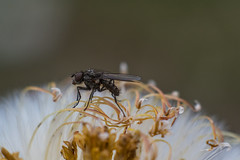 fly and flower macro (steffos1986) Tags: flower macro bokeh wild vinatge insect fly yashinon closeup nature 55mm garden extensiontubesusers yashinonauto