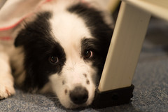 20170521_194016.jpg (ch.90) Tags: dog border collie animal bordercollie