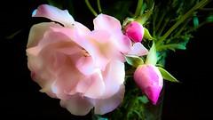 Soft.... (Isa****) Tags: 7dwf fleur flower rose pink douceur soft
