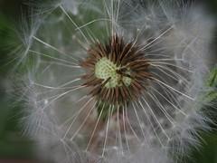 Jinny-Joe (haesy) Tags: dandelion blowball jinnyjoe plant flower spring löwenzahn brandenburg joachimsthal macro olympuspen wowiekazowie