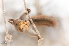 load of peanuts (Geert Weggen) Tags: red nature animal squirrel rodent mammal cute look closeup stand funny bright sun backlight staring watching hold glimpse peek up tail rope stack climb knot nut food peanut geert geertweggen sweden bispgården jämtland ragunda hardeko