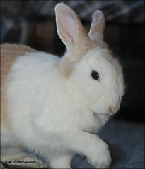 """ Shake a Paw ? "" (John Neziol) Tags: kjphotography nikon nikondslr nikoncamera netherlanddwarfrabbit rabbit bunny dwarfrabbit brantford blueeyes cremewhiterabbit pet portrait animal"