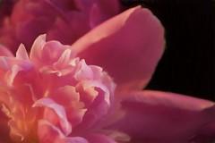 peony's heart (Pejasar) Tags: peony flower bloom blossom spring 2017 tulsa oklahoma nature garden beauty macro soft delicate