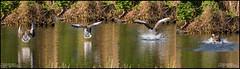 COMMING TO LAND APRIL 2017.facebook jpg (philipmaeve12) Tags: birds wildlife arklow duck pond