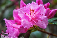 After The Rains (nywheels) Tags: azalea flower flowers nature naturephotography water waterdroplets bokeh outdoors botany nikon nikond7100