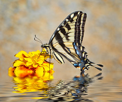 Swallowtail (Mimi Ditchie) Tags: butterfly flower swallowtail swallowtailbutterfly reflections water flood macro closeup
