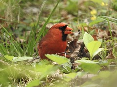 Northern Cardinal (bigyear15) Tags: cardinal bird wildlife birdsinthewild birding