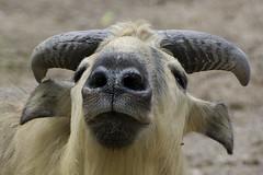 smug look (ucumari photography) Tags: ucumariphotography cincinnati zoo ohio april 2017 budorcastaxicolor takin animal mammal dsc1983 specanimal