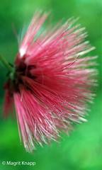 Biosphäre Potsdam (magritknapp) Tags: biosphärepotsdam flower blume pink green grün fleur flor fiore