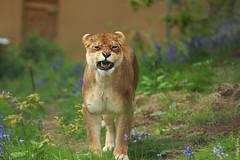 Snarling Lioness (Allan Jones Photographer) Tags: lion lioness snarl feline bigcat dartmoorzoo dzp allanjonesphotographer canon5d3 leo pantheraleo canonef70200mmf28lisiiusm bokeh