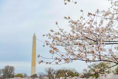 600_5459 (VMP photography) Tags: sakura washington cherryblossom tree travel capitol usa united unitedstates landmarks monuments jefferson lincoln