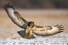 Buzzing About (Mr F1) Tags: buzzard buzzy buzzingabout johnfanning wild raptor poland winter cold snow ice nature outdoors