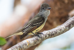 Great Crested Flycatcher -1533