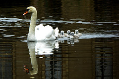 Spot the hitchhiker? (skoop102) Tags: swan baby chicks cygnet coventry warwickshire coombe coombeabbey coombecountrypark water reflections