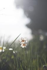 (¤ Chris ¤) Tags: daffodils spring sun sunshine contrejour light flowers grass bokeh d500 nikon 85mm f20