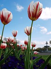 Tiwlipau / Tulips - Stanley Park, Blackpool (Rhisiart Hincks) Tags: undebewropeaidd europeanunion ue eu brosaoz sasainn england lloegr sirgaerhirfryn lancashire fylde blackpool feunteun fountain ffynnon dìthean bleunioù flowers blodau gairdín tref baile town park liorzhkêr parc redandwhite cochagwyn purple porffor heartsease blodautrilliw pansy tiwlip tulip tulipez