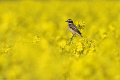 whinchat in a rapeseed field (Fraton) Tags: wildlife animals birds wild fauna romania flowers nature