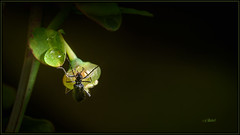 Drip Insect (Maclobster) Tags: