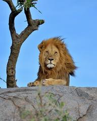 Sigh ... (John Kok) Tags: tanzania namiri april2017 lion pantheraleo nikkor20050056evr2