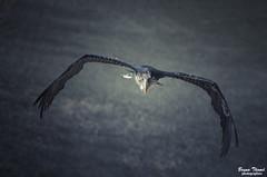 Marabout (Bruno. Thomé) Tags: pentaxk5 smcda300mmf4 marabout oiseau nature france beauval