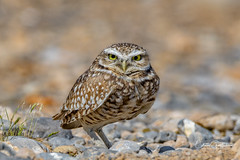 Ok, but I'm NOT smiling! (craig goettsch) Tags: burrowingowl owl floydlambpark avian nature animal wildlife nikon d500 ngc