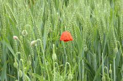 la libertà ... (miriam ulivi - OFF/ON) Tags: miriamulivi panasonicdmctz60 papaveri pioggia poppies rain green verde rosso red 25aprile2017