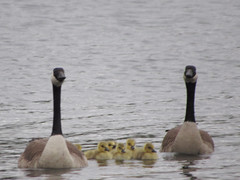 Canada Geese Family (deu49097) Tags: canada geese goslings