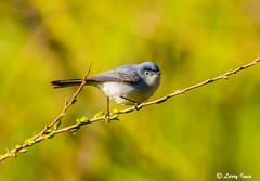 BLUE- GRAY GNATCATCHER (imeshome) Tags: blue gray gnatcatcher small migrating bird wildwood north boardwalk nature larry tree