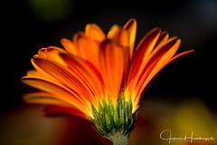 The Other Side of Beauty (jhambright52) Tags: macroflowers macro gerber daisy orangeandyellow coth5 ngc doublefantasy npc