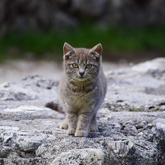 {Le donne e i gatti faranno quello che vogliono e gli uomini e i cani dovrebbero rilassarsi ed abituarsi all'idea. ~Robert A. Heinlein} ◇ 🔷 ◇ 🌍Location:    IT  Ortona ◇ 🔷 ◇ ♾ ___________☆_________ (maresaDOs) Tags: uploaded:by=instagram chat nature animal gato cat pets love portrait