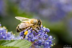 Abeille (cbourdon92) Tags: abeilles antony îledefrance france fr