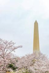 600_5431 (VMP photography) Tags: sakura washington cherryblossom tree travel capitol usa united unitedstates landmarks monuments jefferson lincoln