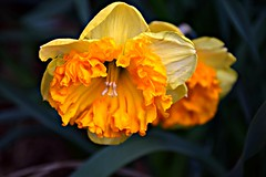 Edwards Gardens, Toronto, ON (Snuffy) Tags: flowers spring seasons edwardsgardens torontobotanicalgarden donmills northyork toronto ontario canada