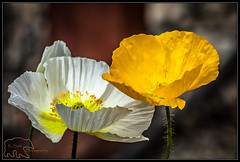 (K-Szok-Photography) Tags: inlandempire socal sbcusa upland uplandcalifornia california flowers flowercolors canon canondslr kenszok kszokphotography canon50d 50d