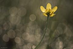 Bokeh Garden (oskaybatur) Tags: spring april ilkbahar pentaxkr pentax pentaxart justpentax bokeh nature dof smcpentaxdal55300mmf458ed ranunculusrepens düğünçiçeği türkiye turkei çerkezköy trakya oskaybatur 2017 yellow wildflower kırçiçeği
