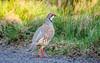 Red Legged Partridge - April M_001-2 (gomo.images) Tags: 2017 angus bird cairngormnationalpark glenesk nature redleggedpartridge scotland years