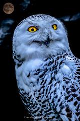 When the darkness creeps in ...I AM the Predator (mr.wohl) Tags: eule owl schneeeule darkness dunkelheit angst raubtier predator nacht fear