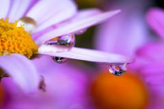 Bubbleflower (binoguzzi) Tags: macro fiore marghertita bokeh rugiada riflesso natura flower xt10 fuji fujifilm xf60 fujix fujixseris