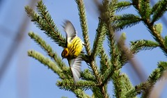 Cape May Warbler Takeoff Flight (praja38) Tags: capemaywarbler warbler animal capricorn caps cap humour life wild wildlife nature songbird flight flying fly wings wing feathers feather beak pine tree woods thickson whitby canadian canada wingspan