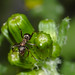 Ant on closed groundsel buds